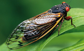 Cicada Season: Tips to Survive the Swarm