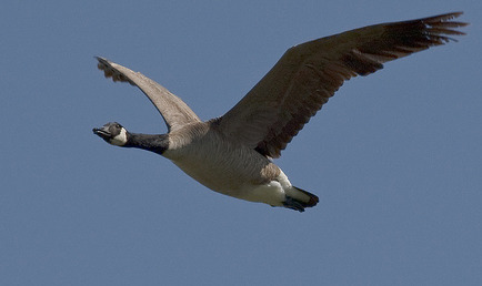 Officials Kill 400 New York City Geese for Flyer Safety
