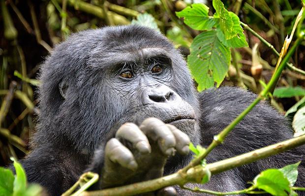 Gorilla Trekking in Uganda: On a Budget
