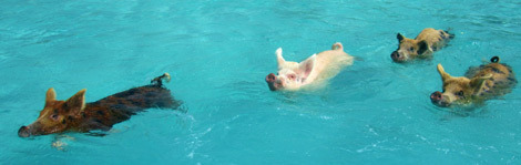 Swimming With Pigs In Exuma Island