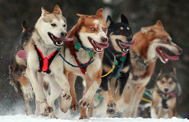 Seeing the Iditarod in Person: Here's How to Do It