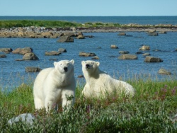 Polar Bear Encounters in Manitoba, Canada