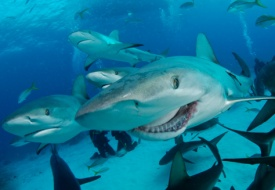 Shark Week Cruise Tours to the Galapagos from Discovery Adventures