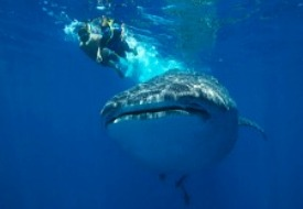 Easy Cancun Must-Do: Swimming with Whale Sharks